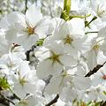 志高湖の桜(11)