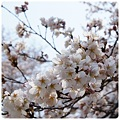 20120409 鞍ケ池公園 桜