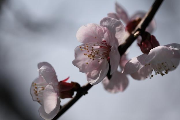 アンズの花(2)