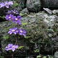 雨のクレマチス  長谷寺