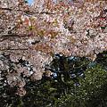 散る桜01