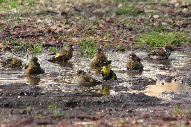 Photos: 雨後の水溜り、カワラヒワ、スズメさん仲良くね!