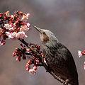 寒桜にヒヨドリ