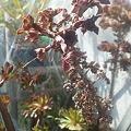 写真: 黒法師の花芽は、子株を少しでも遠くにぽろぽろ落とすために高くなる...