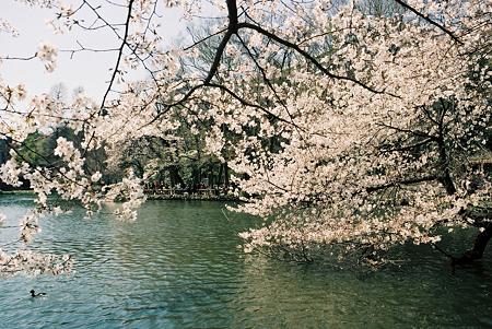 om1_桜_02