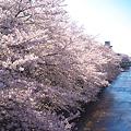 Photos: 春の石神井川(満開編)
