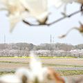 写真: <嵐山堤桜*花曇り>