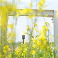 <荒川左岸*菜の花シャワー!>