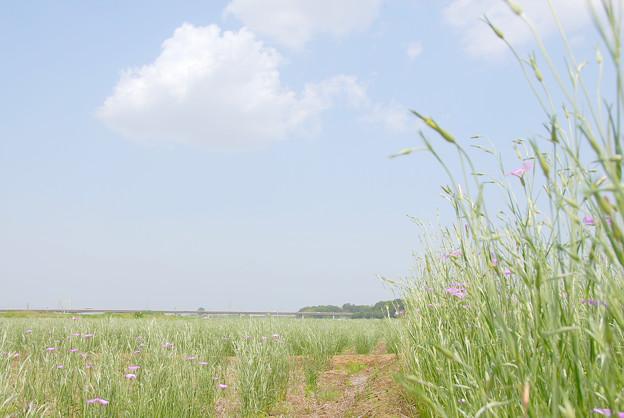 <荒川左岸*麦ナデシコに魚雲>
