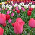 Photos: tulip花壇